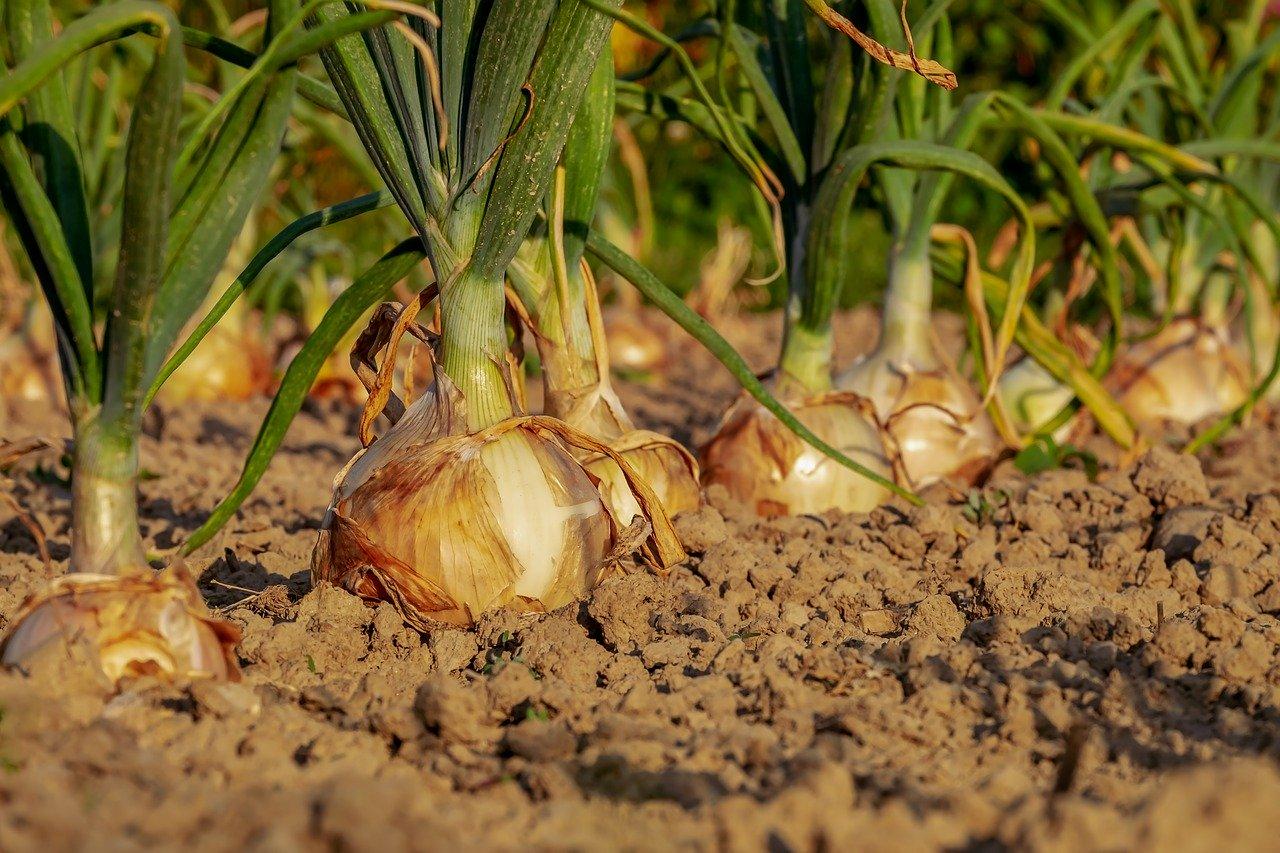 Zwiebel, gedünstet (ohne Zugabe von Fett und Salz) Essen und Trinken Gemüsesorten