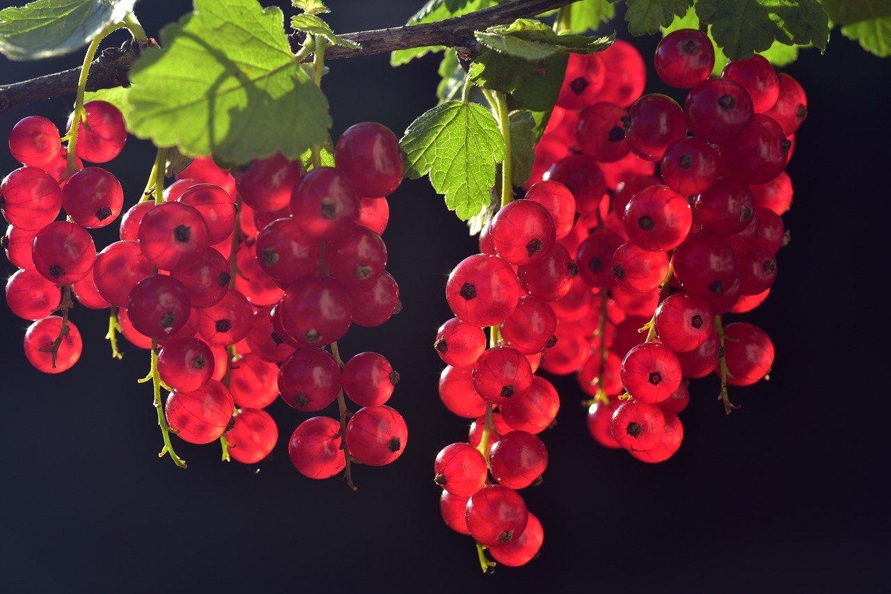 Johannisbeere, rot Essen und Trinken Früchte